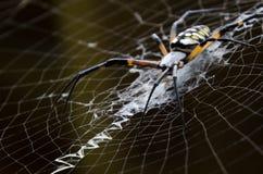 Przerażający pająk w jego sieci Fotografia Royalty Free