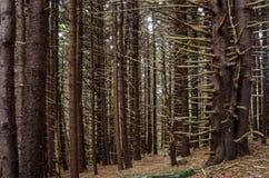 Przerażający Sosnowy las Obraz Royalty Free