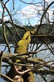 Przerastający z mech łamającym drzewem fotografia stock