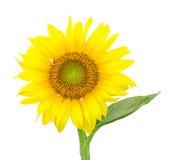 Przerzedżę odizolowywał słonecznikowego okwitnięcie Zdjęcia Stock