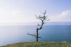 Przerzedżę więdnął drzewa przed Baikal jeziorem obrazy stock