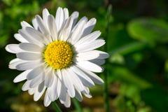 Przerzedże białej stokrotki kwiatu zakończenie na naturalnym zielonym tle z kopii przestrzenią obrazy royalty free