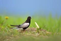 Przerzedże Białoskrzydłego Czarnego Tern ptaka na trawiastych bagnach w spreing sezonie Zdjęcia Royalty Free