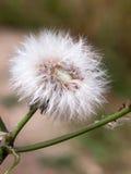 Przerzedże biały dandelion fluff kwiatu głowy nietknięty całego obrazy royalty free