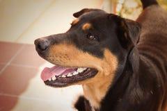 Przerzedże dobrodusznego żeńskiego czarnego psa w miękkim sepiowym colour brzmieniu Obraz Stock