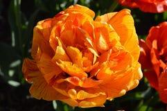 Przerzedże Jaskrawego Różanego tulipanu zakończenie Up zdjęcia royalty free