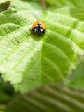 Przerzedże 7 kropek ladybird na liścia przybyciu w kierunku kamery zieleni Zdjęcia Royalty Free