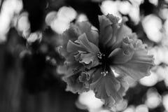 Przerzedże kwiatu czarny i biały Obraz Stock