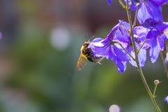 Przerzedże kwiatu i pszczoły Fotografia Stock
