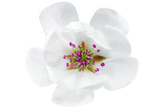 Przerzedże kwiatu magnolia. Odizolowywający na białym tle. Obrazy Stock