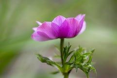 Przerzedże ornamentacyjnego anemonowego coronaria de Caen w kwiacie, różowa purpurowa kwiatonośna roślina Zdjęcie Royalty Free