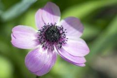 Przerzedże ornamentacyjnego anemonowego coronaria de Caen w kwiacie, różowa purpurowa kwiatonośna roślina Zdjęcia Royalty Free