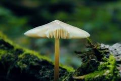 Przerzedże pieczarkowego i zielony mech, skupia się przy pieczarką, deszcz w lesie Obraz Stock