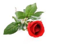 Przerzedże różanego Zdjęcia Royalty Free