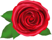 Przerzedże różanego, wektor Zdjęcie Royalty Free
