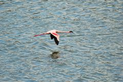 Przerzedże Różowego flaminga na Empakai jeziorze, Wielki rift valley, Tanzania, Wschodni Afryka Fotografia Royalty Free