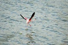 Przerzedże Różowego flaminga na Empakai jeziorze, Wielki rift valley, Tanzania, Wschodni Afryka Obrazy Royalty Free
