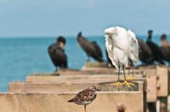 Przerzedże rumianego kamusznika, seabird pozycja na drewnianej strukturze z innymi dennymi ptakami zdjęcia stock