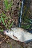 Przerzedże słodkowodnej ryba oka leszcza na czarnej sieci rybackiej Obraz Royalty Free