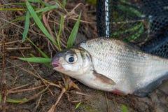 Przerzedże słodkowodnej ryba oka leszcza na czarnej sieci rybackiej Fotografia Stock
