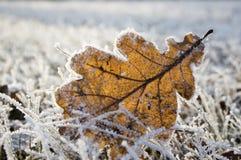 Przerzedże zamarzniętego dębowego liść w zamarzniętej trawie Obraz Stock