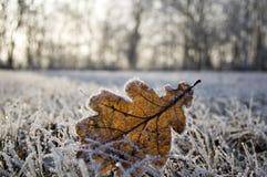 Przerzedże zamarzniętego dębowego liść w zamarzniętej trawie Zdjęcie Stock