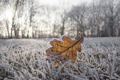 Przerzedże zamarzniętego dębowego liść w zamarzniętej trawie Fotografia Royalty Free