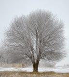 Przerzedże Zamarzniętego drzewa w zimy polu Zdjęcie Stock