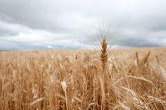 Przerzedże badyl pszeniczny klejenie z wheatfield Obrazy Stock