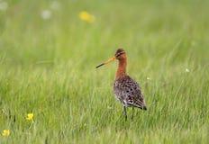 Przerzedże Ogoniastego Godwit ptaka na trawiastych bagnach w wiosna sezonie Fotografia Stock