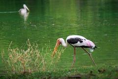 Przerzedże pelikana chwyta ryba od jeziornej rzeki Pelikana ptaka wallp Zdjęcia Royalty Free
