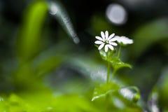 Przerzedże Wielkiego Stitchwort Stellaria holostea w lesie w Li Obrazy Royalty Free
