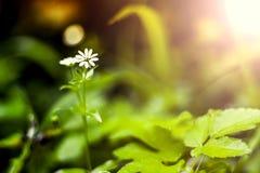 Przerzedże Wielkiego Stitchwort Stellaria holostea w lesie w Li Zdjęcia Stock