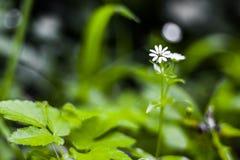 Przerzedże Wielkiego Stitchwort Stellaria holostea w lesie w Li Fotografia Stock