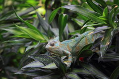 Przesłaniający kameleon zdjęcia stock