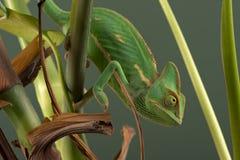 Przesłaniający kameleon & x28; Chamaeleo Calyptratus& x29; Zdjęcia Stock