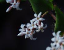 Przesłodzony Leucopogon zdjęcie stock