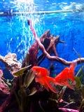2 przesłoien dziąseł ik goldfishes pływa w mój x28 & akwarium; Fotografia Stock