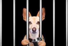 Przestępca pies za barami w komendzie policji, więzienia więzieniu lub shel, zdjęcia royalty free