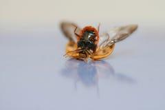 przestań robaki tańczącą lady Obraz Stock