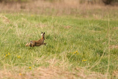 Przestraszony zajęczy bieg przez łąkę Obrazy Stock