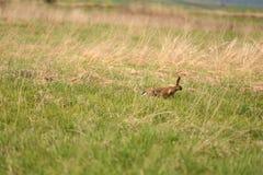 Przestraszony zajęczy bieg przez łąkę Fotografia Royalty Free