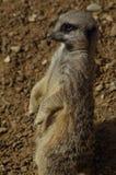 Przestrzegający Meerkat Zdjęcie Royalty Free