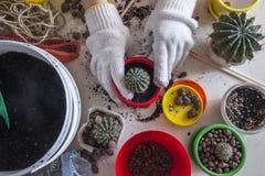 Przeszczepów kaktusy w kolorowych garnkach obraz stock