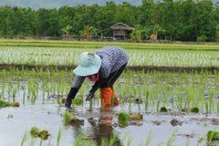 Przeszczepów ryż rozsady fotografia stock