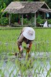 Przeszczepów ryż rozsady zdjęcie royalty free