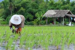 Przeszczepów ryż rozsady obraz stock