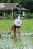 Przeszczepów ryż rozsady zdjęcia stock