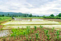 Przeszczepów ryż rozsady Obraz Royalty Free