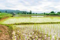 Przeszczepów ryż rozsady Obrazy Stock